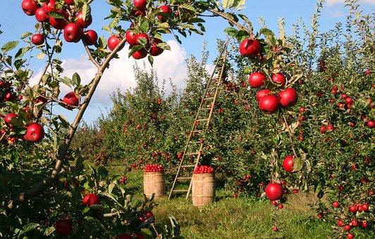 manzanas-en-el-arbol